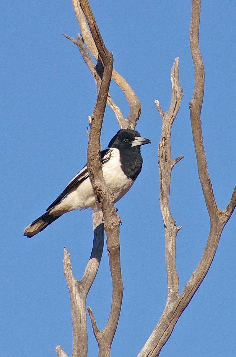 Butcherbird Wogarno