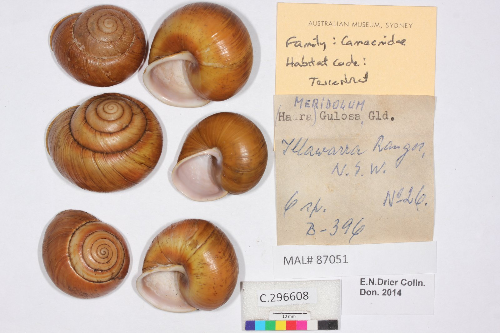 C.296608 Meridolum (Hadra) gulosa