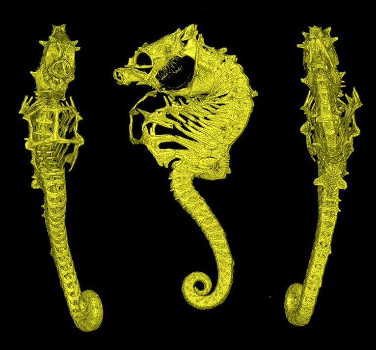 CT scan of Hippocampus nalu, SAMC-F041934, paratype, male, 22 mm SL; South Africa: Sodwana Bay, 2 Mile Reef