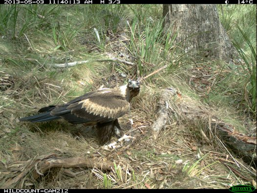Camera Trap bird