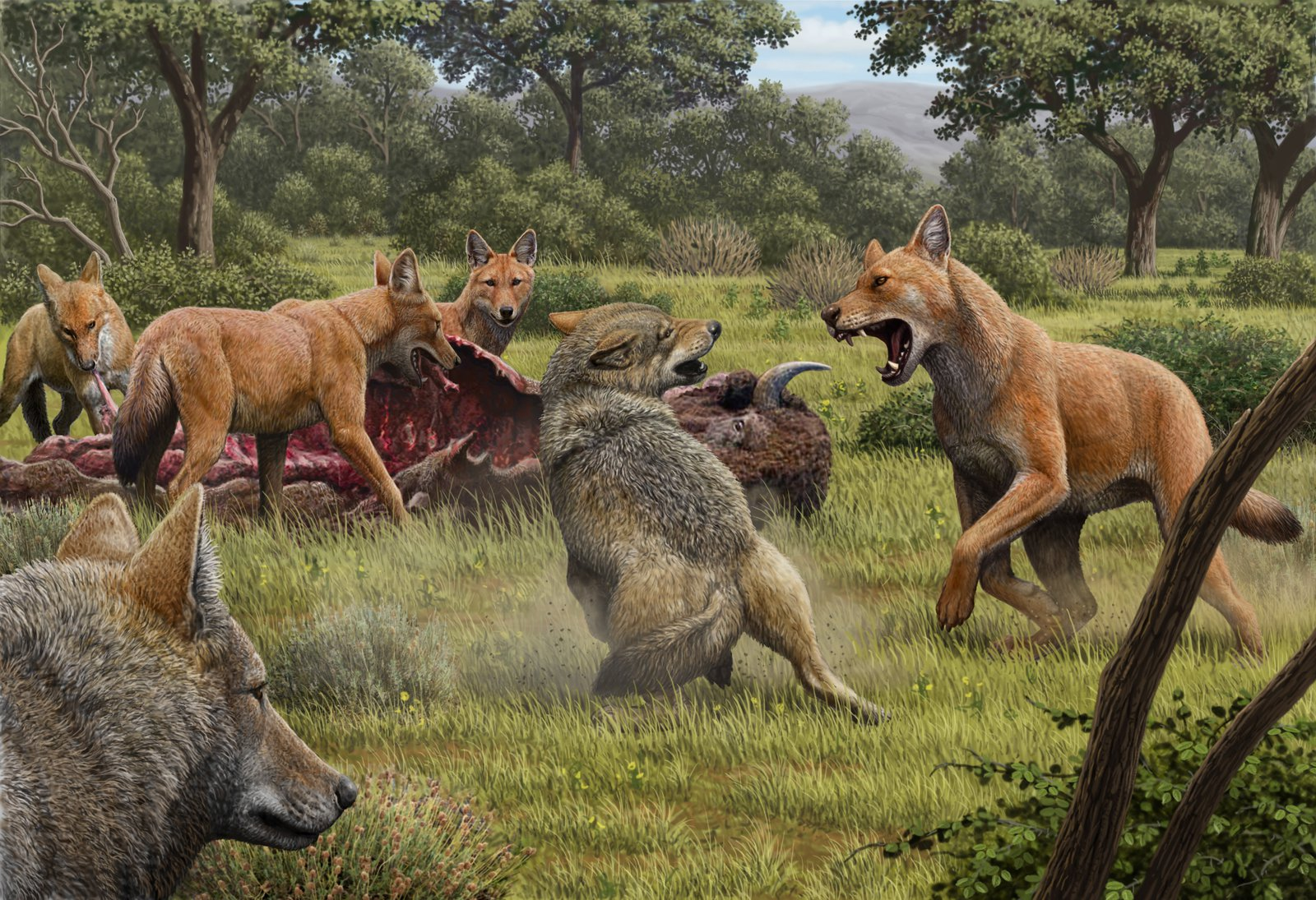 A pack of dire wolves (Canis dirus) are feeding on their bison kill, while a pair of grey wolves (Canis lupus) approach in the hopes of scavenging