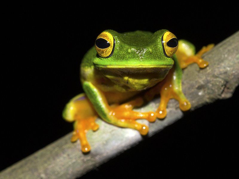 Cape York Graceful Treefrog (Litoria bella), Queensland, Australia.