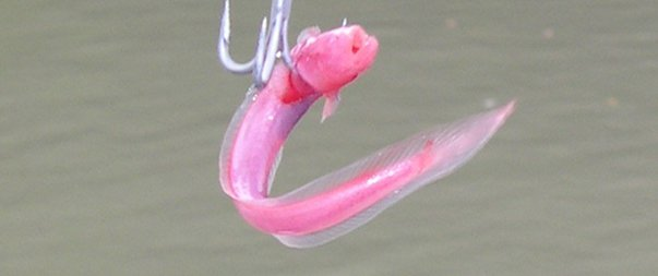 <i>Caragobius rubristriatus </i>