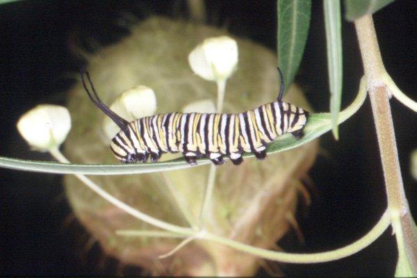 Caterpillar, Danaus plexippus