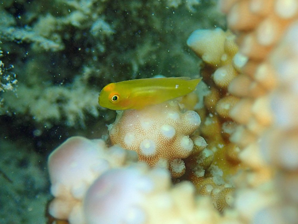 Small fish find shelter among the branches of live coral.