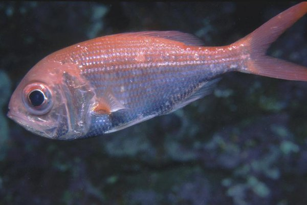 Centroberyx affinis