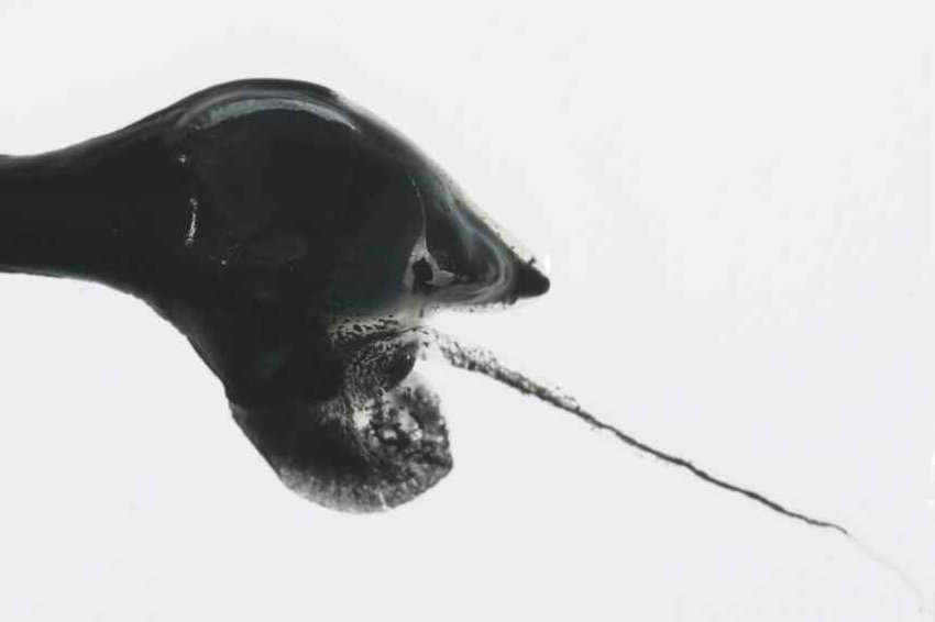 Chaenophryne longiceps