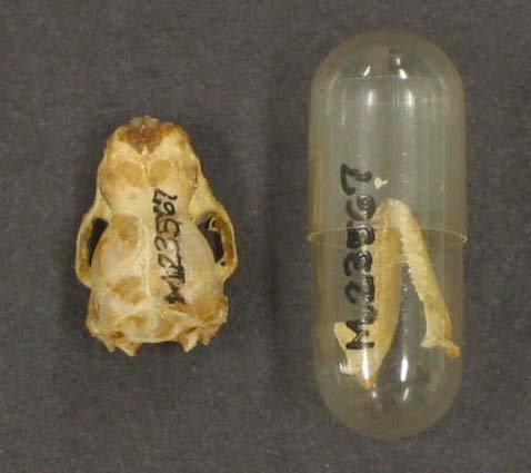 Chalinolobus gouldii