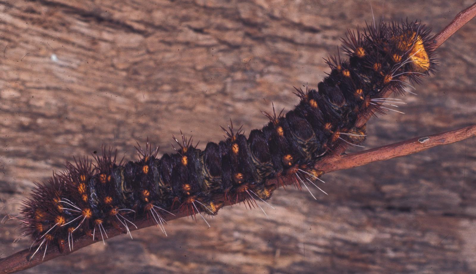 Chelepteryx collesi Gray, 1835. White-stemmed Gum Moth larva.