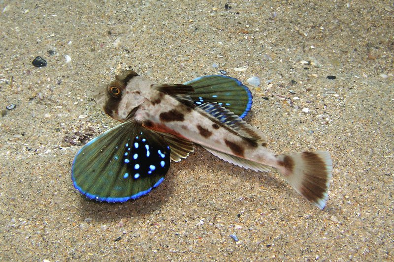 Chelidonichthys kumu