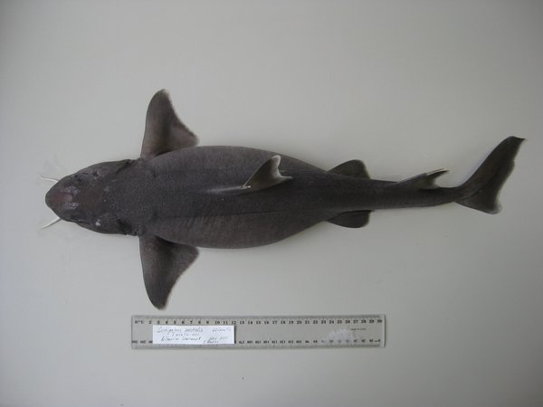Cirrhigaleus australis  I.45670-001  dorsal view