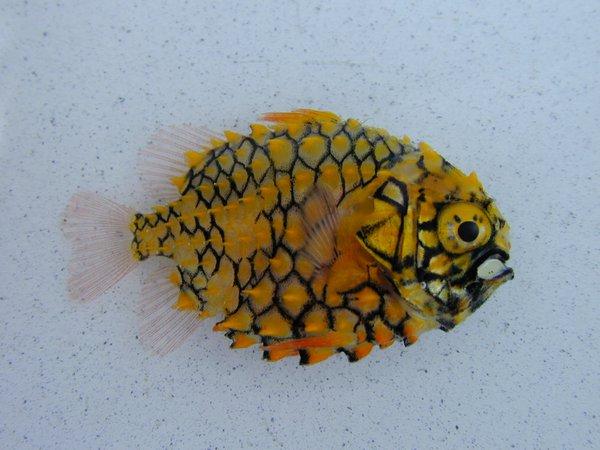 Cleidopus gloriamaris I.41846-004