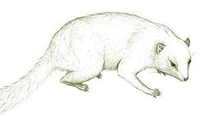 Australia's extinct marsupial, Cohen's Thingodonta