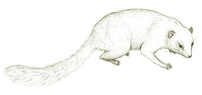 Australia's extinct marsupial, Cohen's Thingodonta