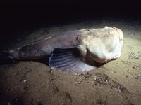 Common Stargazer, Kathetostoma laeve