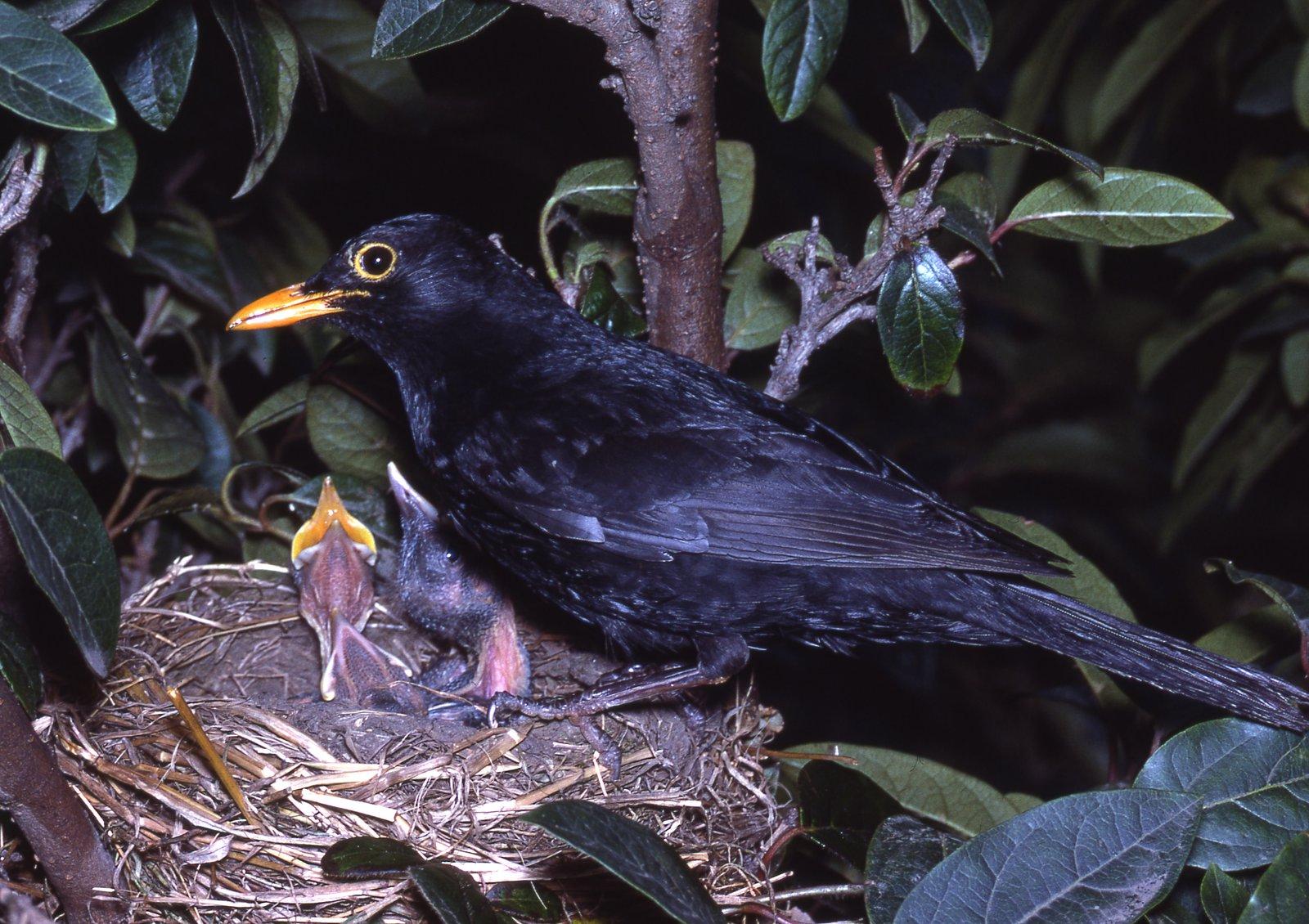 Common Blackbird, Turdus merula