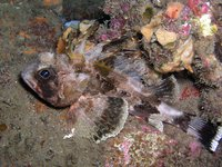 Common Gurnard Perch, Neosebastes scorpaenoides