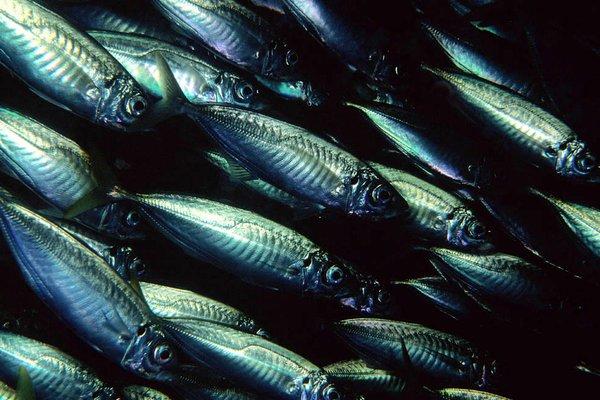 Common Jack Mackerel, Trachurus declivis