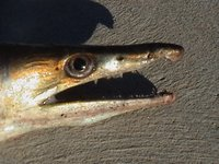 Common Pike Eel, Muraenesox bagio