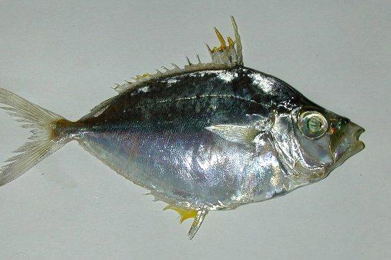 Common Ponyfish, Leiognathus equulus