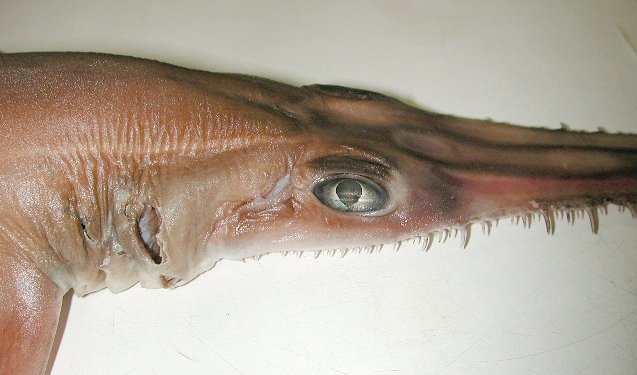 Common Sawshark, Pristiophorus cirratus