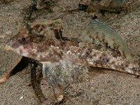 Common Stinkfish, Foetorepus calauropomus