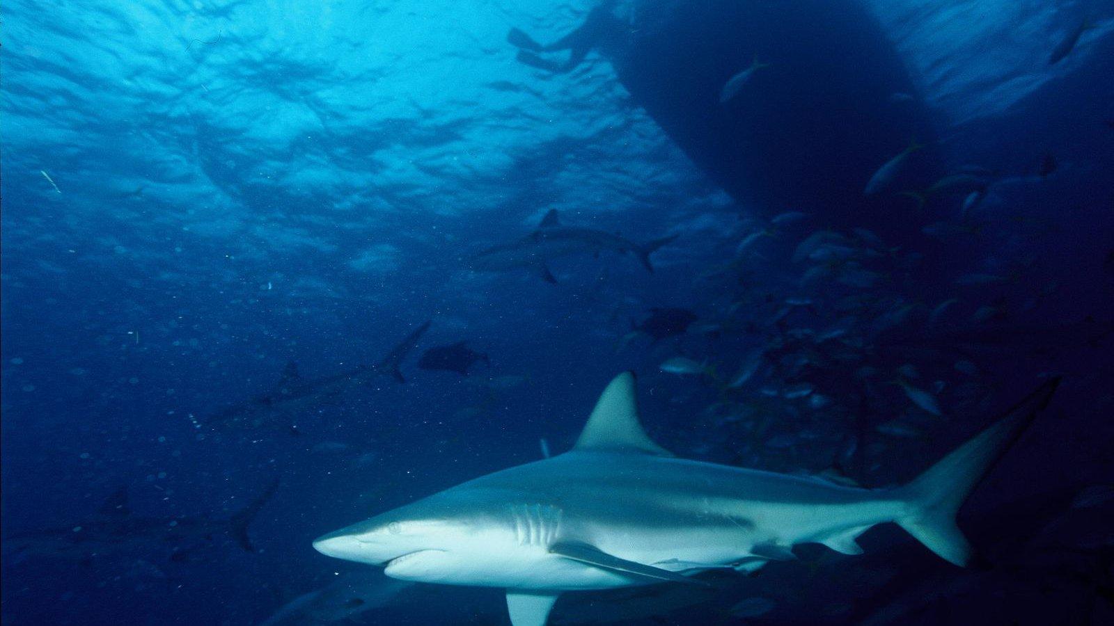 Common blacktip shark.