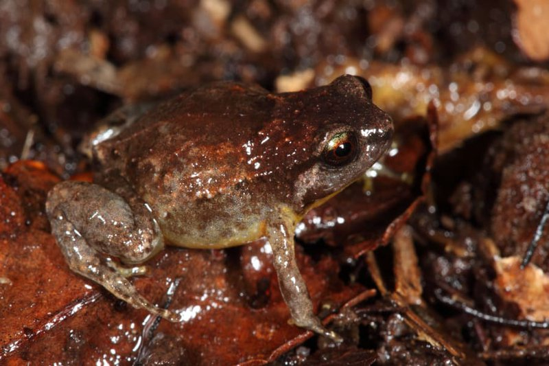Tapping Nursery Frog, Cophixalus aenigma