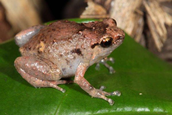 Southern Ornate Nursery Frog, Cophixalus australis