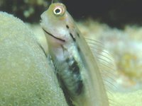 Coral Blenny, Ecsenius yaeyamaensis
