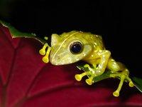 Solomon Island Giant Treefrog