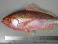 Cosmopolitan Rubyfish, Plagiogeneion rubiginosus