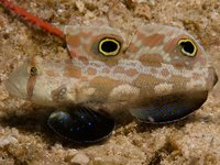 Crab-eye Goby, Signigobius biocellatusu0009