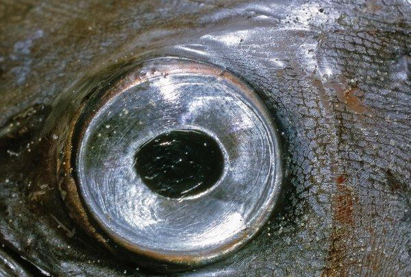 Crested Bandfish , Lophotus lacepede