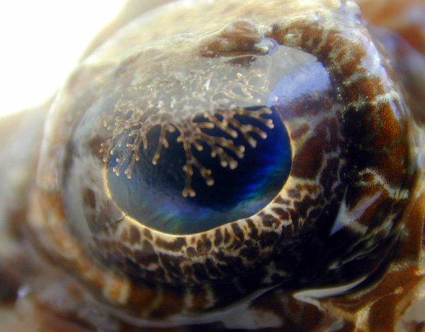 Crocodilefish, Cymbacephalus beauforti - eye