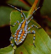 Crusader bug nymph