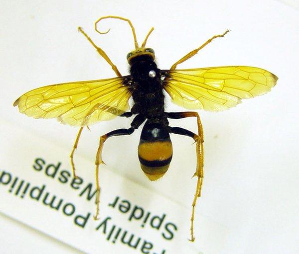 Cryptocheilus bicolor