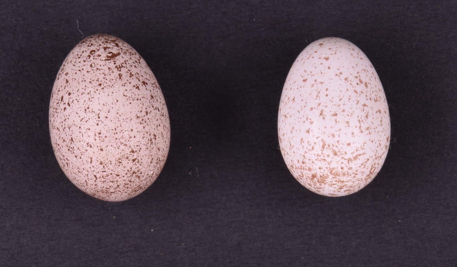 Horsfield's Bronze-cuckoo (Chalcites basalis) egg