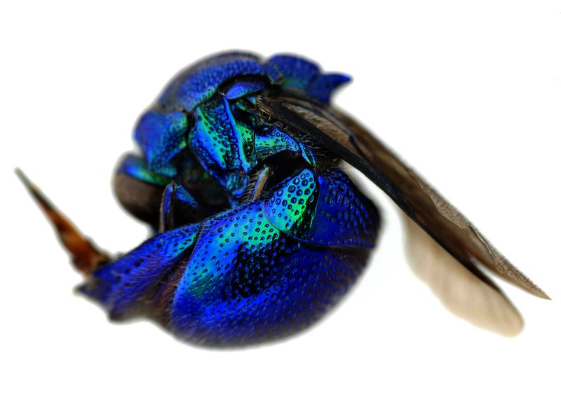 Cuckoo Wasp (female) Stilbum cyanurum