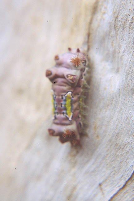 Cup Moth caterpillar