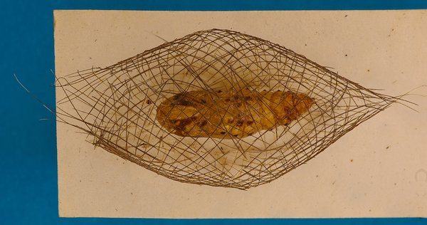 Cyana meyricki cocoon and pupa