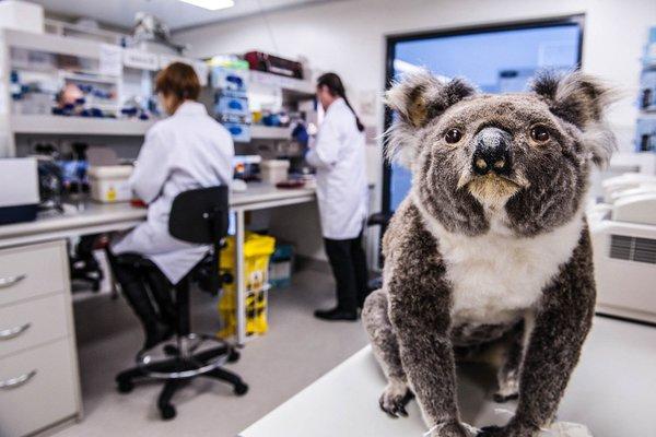 Koala Genome