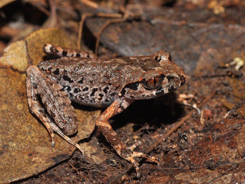 Cardamom Leaf-litter Frog
