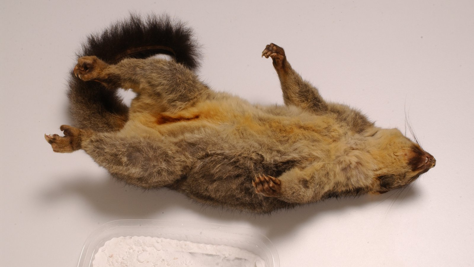 Brushtail Possum taxidermy