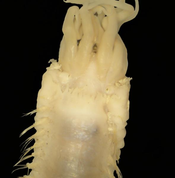 Deep-sea polychaete worm family Ampharetidae
