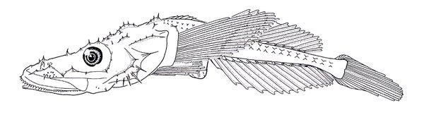 Deepsea Flathead, Hoplichthys haswelli