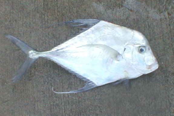 Diamond Trevally, Alectis indica