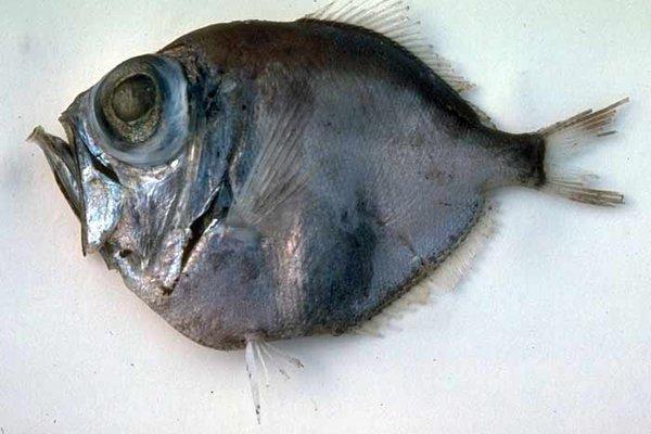 Discfish, Diretmus argenteus
