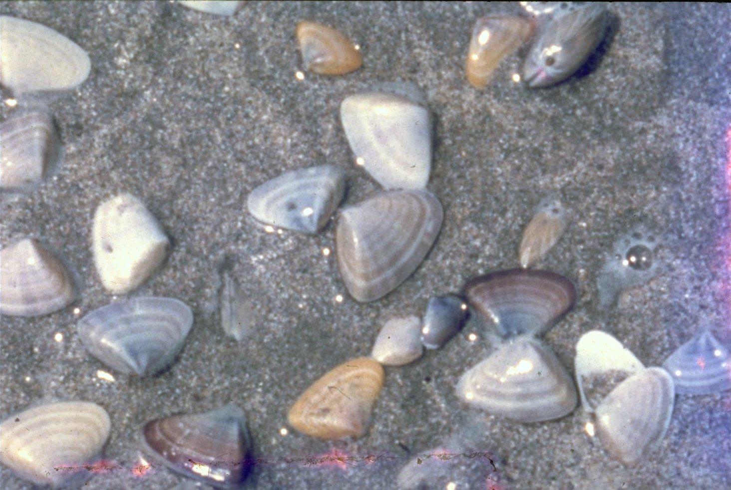 Donax deltoides