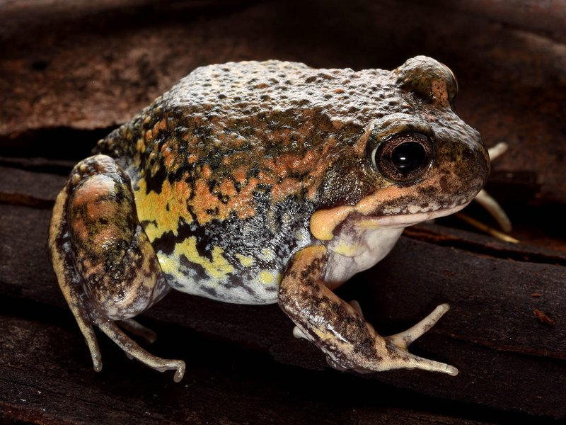 Eastern Banjo Frog  (Limnodynastes dumerilii)